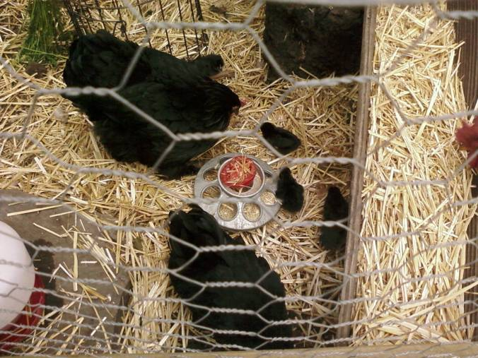Hens and Chicks in their coop