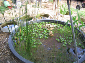 Greywater Pond - from the Rhizome Collective in Austin Texax
