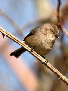Bushtit (from Williamalane Parks and Rec website)