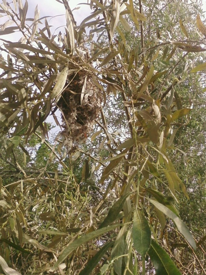 Bushtit Nest in the Branches of a Willow Tree at the Bimini Slough Park