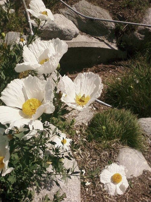 California Native Matilija Poppies in Full Bloom
