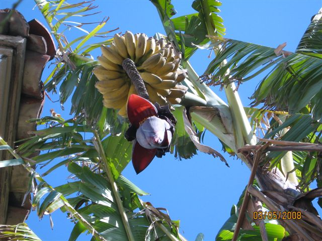 Bananas blooming next door to the proposed garden