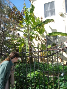 suzi, thiago, nichole, george, shaun - visitor fr. France and carol - begin walk through gardens in front of 117 Bimini.  George suggested more consistent watering for trees, plus prune apple, remove or graft onto olive.  Other suggestions: thin banana plantings; encourage more growth next to fence; more space between them and apple.