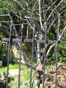peach - branches extend over fence; and lure passers-by into picking fruit and often breaking branches. Recommend prune back fr. fence; remove compost pile next to trunk; think about replacing tree as it's getting old.