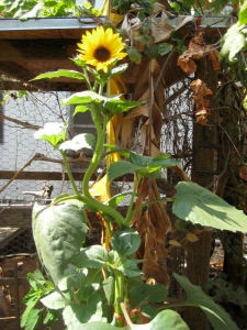 hoochi coochi sunflower