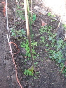 07. volunteer favas, tomato & lettuce rescued from this construction site