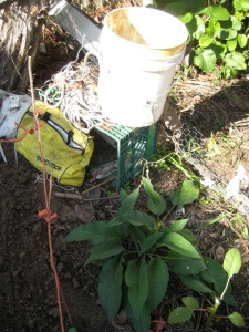 10. Queen comfrey continues to provide leaves for comfrey fertilizer tea.